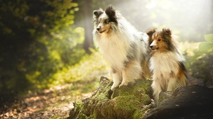 Animal Shetland Sheepdog 2048x1242 Wallpaper
