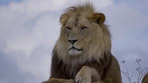 Nature Wildlife Feline Big Cats Mammals Lion 4096x2978 Wallpaper
