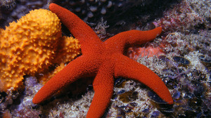 Animal Starfish 1920x1200 Wallpaper