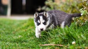 Baby Animal Dog Husky Pet Puppy Siberian Husky 2880x1620 Wallpaper