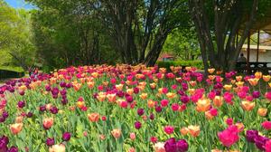 Earth Flower Orange Flower Purple Flower Spring Tree Tulip 3000x2250 Wallpaper