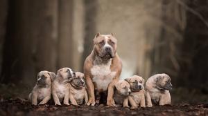 Baby Animal Depth Of Field Dog Pet Pit Bull Puppy 2048x1365 wallpaper