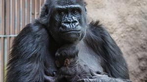 Animal Baby Animal Gorilla Primate 2329x1747 Wallpaper