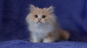 Cat Fluffy Kitten Persian Cat Pet 1920x1200 Wallpaper