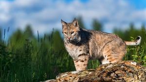Big Cat Lynx Wildlife Predator Animal 3840x2560 wallpaper
