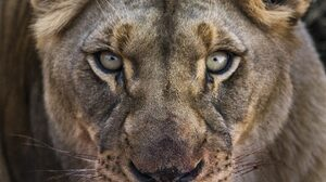 Close Up Face Lion 2880x1800 wallpaper