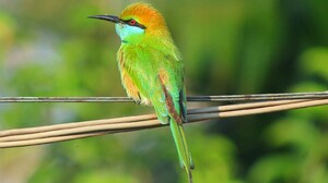 Animal Bee Eater Bird Colorful Green Bee Eater 1600x1073 Wallpaper