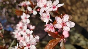 Nature Flowers Cherry Blossom 4624x3468 Wallpaper