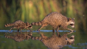 Baby Animal Bokeh Raccoon Reflection 1920x1200 Wallpaper