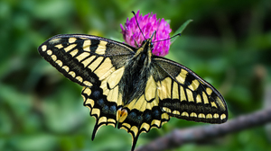 Butterfly Old World Swallowtail Swallowtail Butterfly 4914x3276 Wallpaper