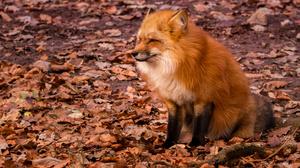 Fox Wildlife 3000x2000 wallpaper