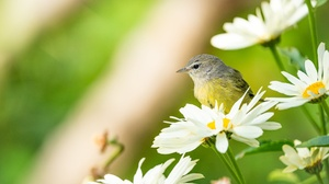 Bird Chamomile Flower Wildlife 2048x1366 Wallpaper