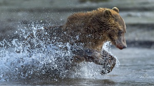 Bear Splash Wildlife Predator Animal 2500x1667 Wallpaper