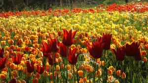 Flower Nature Orange Flower Red Flower Summer Tulip Yellow Flower 3556x2000 wallpaper