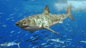 Shark Ocean Fish 1437x1000 Wallpaper