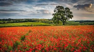 Field Meadow Nature Poppy Red Flower Summer 5568x3712 Wallpaper