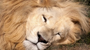 Big Cat Lion Sleeping Wildlife Predator Animal 3872x2592 wallpaper