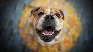 Dog English Bulldog Pet 2048x1365 wallpaper