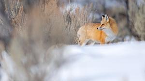 Fox Nature Snow 5120x2880 Wallpaper