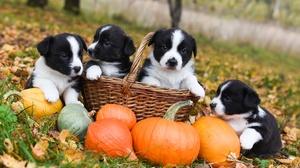 Baby Animal Basket Dog Pumpkin Puppy 2000x1336 Wallpaper