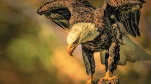 Animal Bald Eagle Bird Bird Of Prey 1920x1200 wallpaper