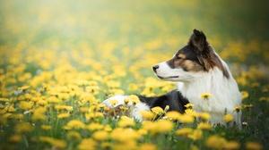Border Collie Dandelion Depth Of Field Dog Pet 2048x1365 Wallpaper
