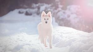 Depth Of Field Dog Pet Puppy Snow Swiss Shepherd Winter 2048x1366 Wallpaper