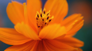 Cosmos Flower Macro Orange Lantern 2048x1371 Wallpaper