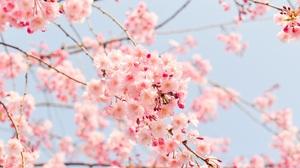 Cherry Tree Flower Pink Flower 2304x1536 wallpaper