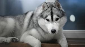 Dog Husky Pet 1920x1280 Wallpaper