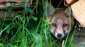 Fox Stare Wildlife 2000x1206 wallpaper