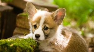 Baby Animal Corgi Dog Pet Puppy 2700x1600 Wallpaper