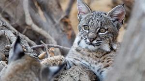 Big Cat Lynx Wildlife 2048x1365 wallpaper