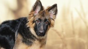 Baby Animal Dog German Shepherd Pet Puppy 2592x1728 wallpaper