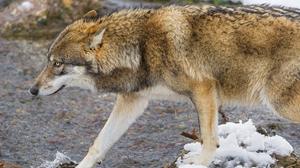 Animal Wolf 4783x3189 Wallpaper