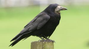 Animal Crow 2214x1494 Wallpaper