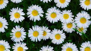 Daisy Flower White Flower 3840x2160 Wallpaper