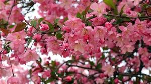 Apple Bloom Branch Spring 3840x2560 Wallpaper