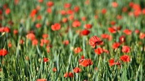 Flower Nature Poppy Red Flower Summer 6000x4000 Wallpaper