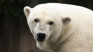 Bear Polar Bear Predator Animal 3000x2000 wallpaper