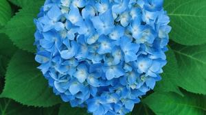 Blue Flower Flower Heart Hydrangea 3000x2375 Wallpaper