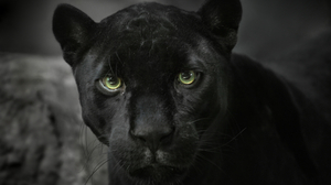 Animal Black Panther 4242x2828 Wallpaper