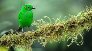 Bird Moss Tanager Wildlife 2048x1166 Wallpaper