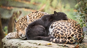 Baby Animal Big Cat Cub Jaguar Sleeping Wildlife Predator Animal 2048x1365 wallpaper