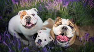 Dog English Bulldog Pet Purple Flower 2048x1367 wallpaper