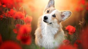Corgi Dog Flower Pet Poppy Red Flower 2048x1365 Wallpaper