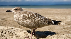 Seagull Wildlife 3653x2663 wallpaper
