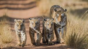 Baby Animal Big Cat Cub Tiger Wildlife Predator Animal 2048x1365 Wallpaper