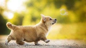 Baby Animal Corgi Depth Of Field Dog Pet Puppy 2048x1302 Wallpaper