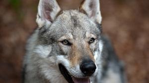 Animal Wolf 3776x2832 Wallpaper